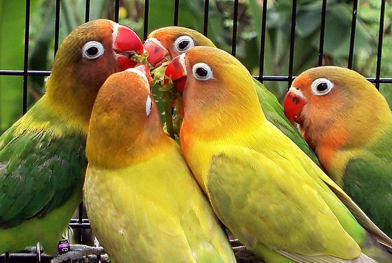 Makanan Lovebird untuk Menaikkan Birahi (suaraburungku.com)