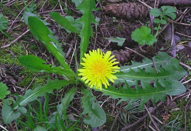 Manfaat daun dandelion atau randa tapak untuk Lovebird dan Kenari (suhamdikelinci.wordpress.com)