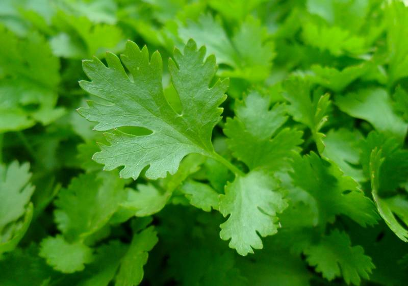 Manfaat daun peterseli atau parsley untuk Lovebird dan Kenari (almanac.com)