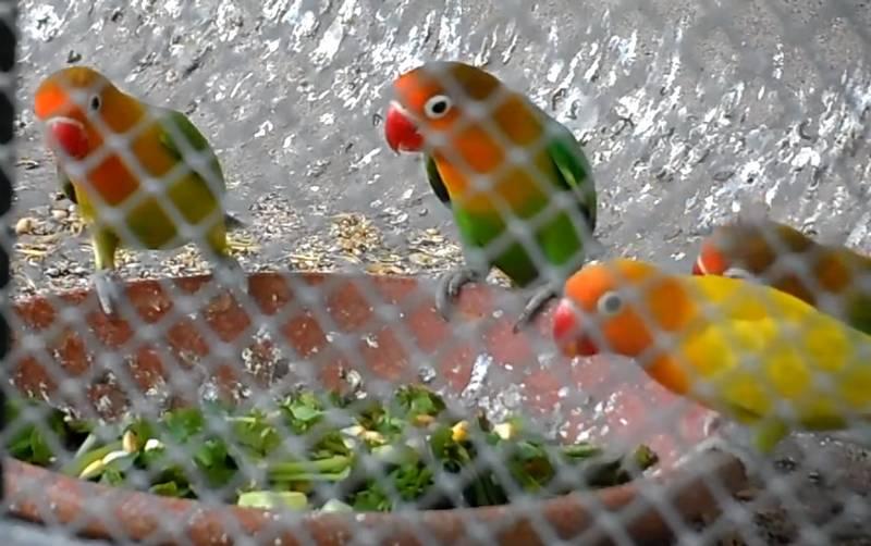 Tanaman Hijau untuk Lovebird dan Kenari (youtube.com)