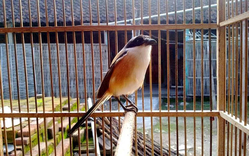 Ciri-ciri Burung Cendet Siap Mengikuti Lomba di Lapangan (dwybf-gerih.blogspot.com)