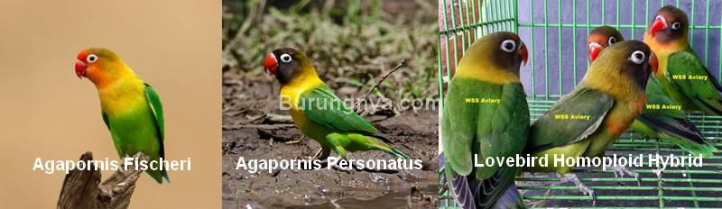 Kawin silang Lovebird Homoploid Hybrid
