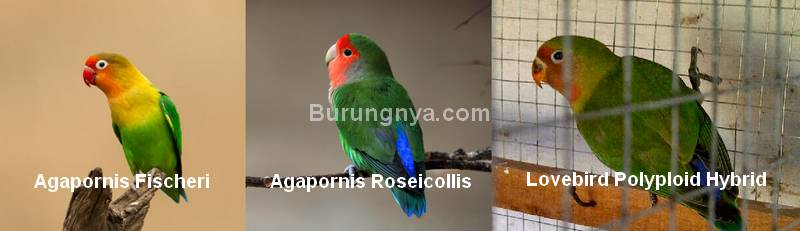 Kawin silang Lovebird Polyploid Hybrid