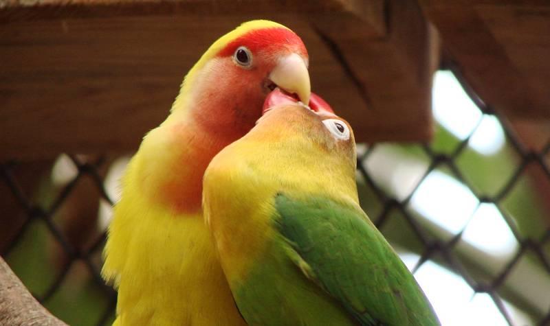 Kawin silang Lovebird beda spesies (wikimedia.org)
