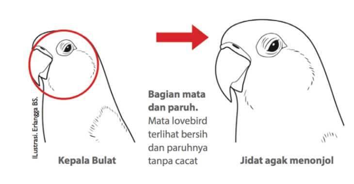 Kriteria Penilaian Bagian Kepala Lovebird Beauty Contest (agromedia.net)