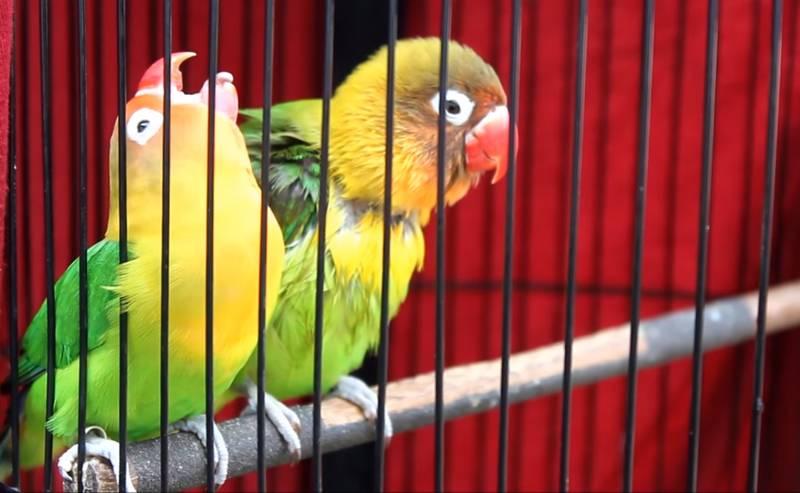 Lovebird Cimit Konslet (youtube.com)