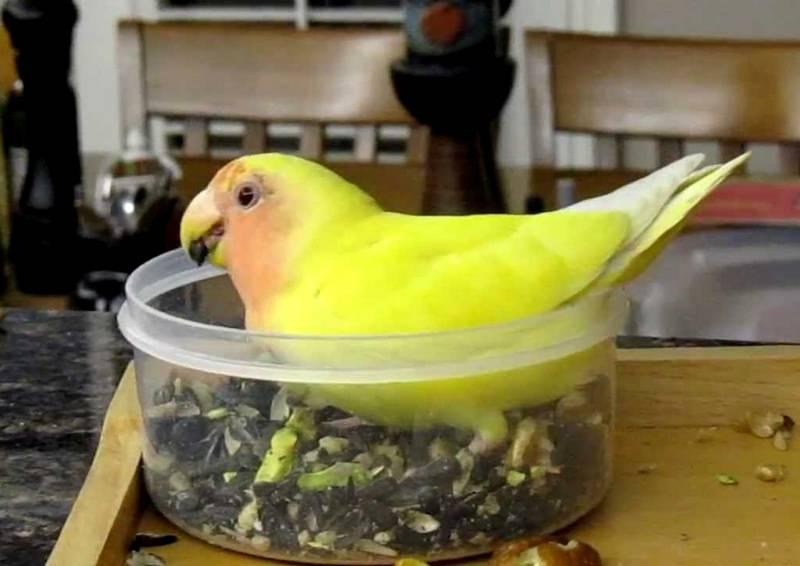 Makanan Biji-bijian Lovebird agar Cepat Ngekek Panjang (youtube.com)