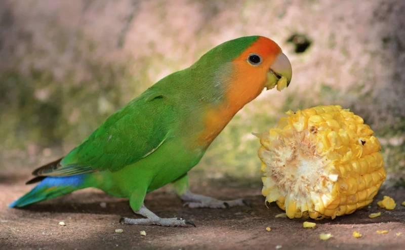 Makanan Jagung Manis untuk Lovebird (pets4homes.co.uk)