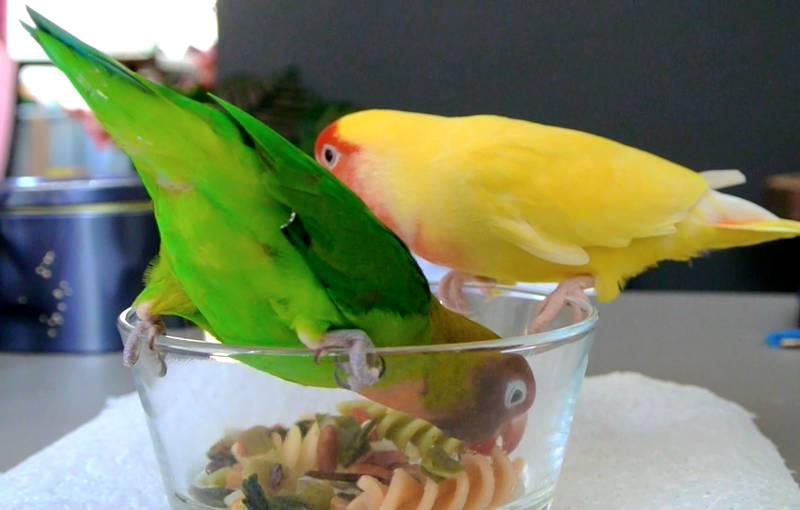 Makanan Lovebird agar Gacor (youtube.com)
