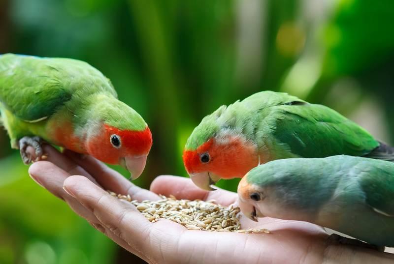 33 Makanan Burung Lovebird Biar Cepat Gacor dan Ngekek Panjang