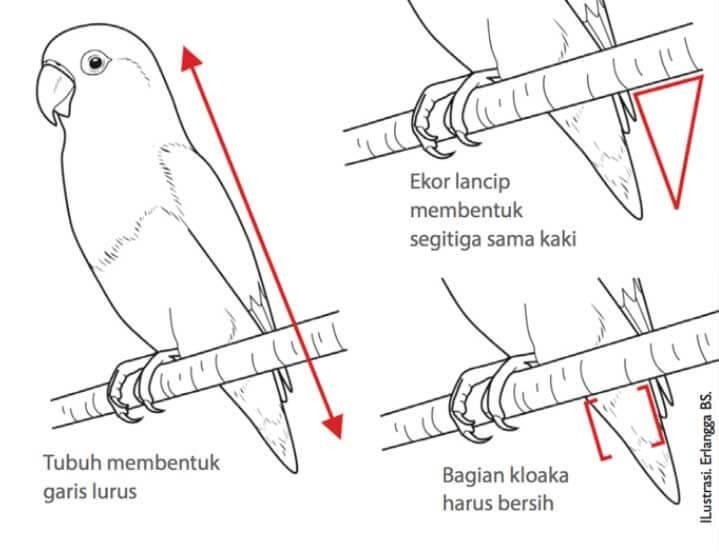 Penilaian Bagian Punggung Bawah, Ekor, Hingga Kloaka Lovebird Warna (agromedia.net)