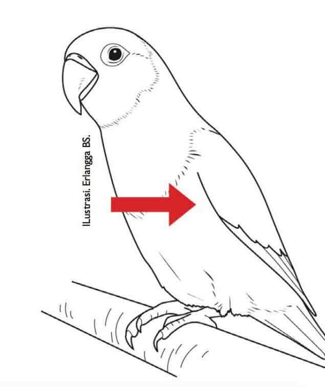 Penilaian Sayap Lovebird Beauty Contest (agromedia.net)