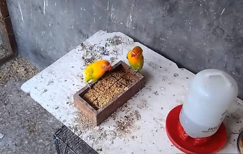 Racikan Pakan Lovebird Konslet dengan Untulan (youtube.com)