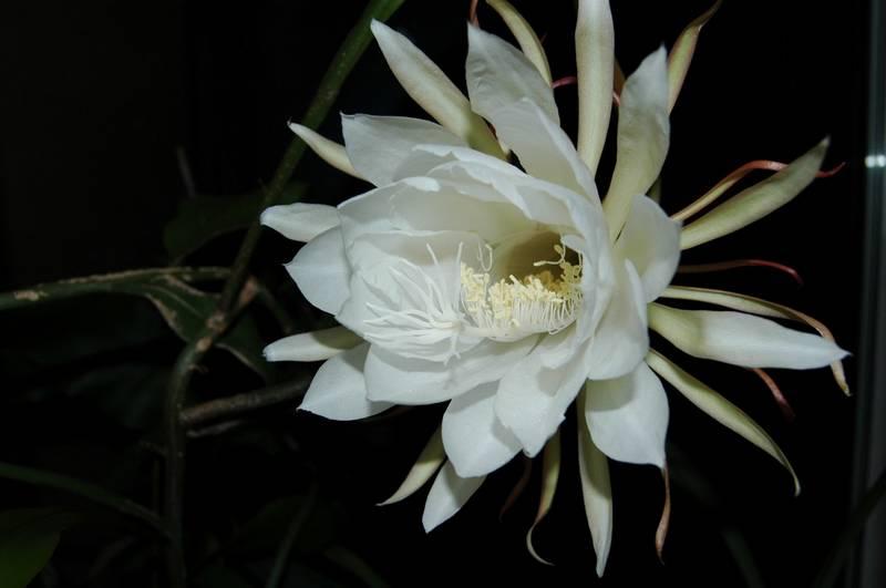 Bunga Wijaya Kusuma (pxhere.com)