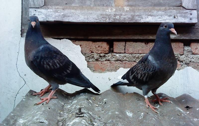 Burung Merpati Balap (losedi.wordpress.com)