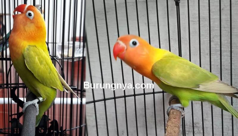 Ciri Lovebird Fighter Mental Petarung yang Bagus untuk Lomba (onkicau.blogspot.com)