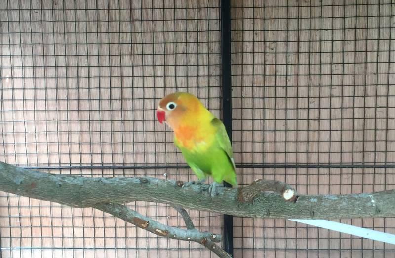Ciri Lovebird yang Bukan Tipe Lomba (steemit.com)