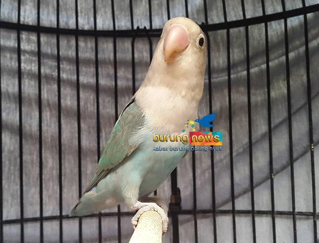 Lovebird Pancali (burungnews.com)
