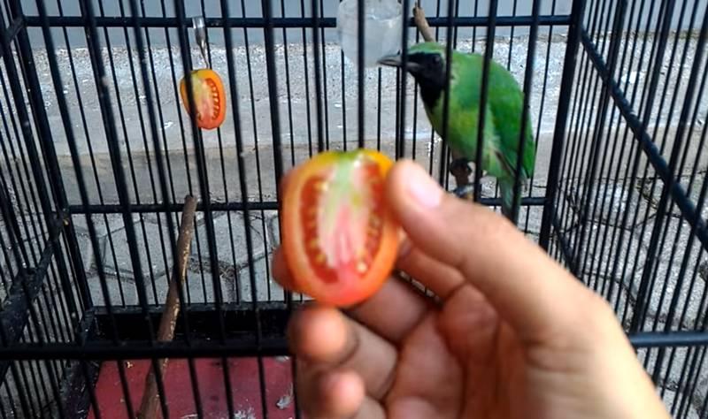 10 Manfaat Tomat untuk Burung Cucak Ijo dan Efek Sampingnya