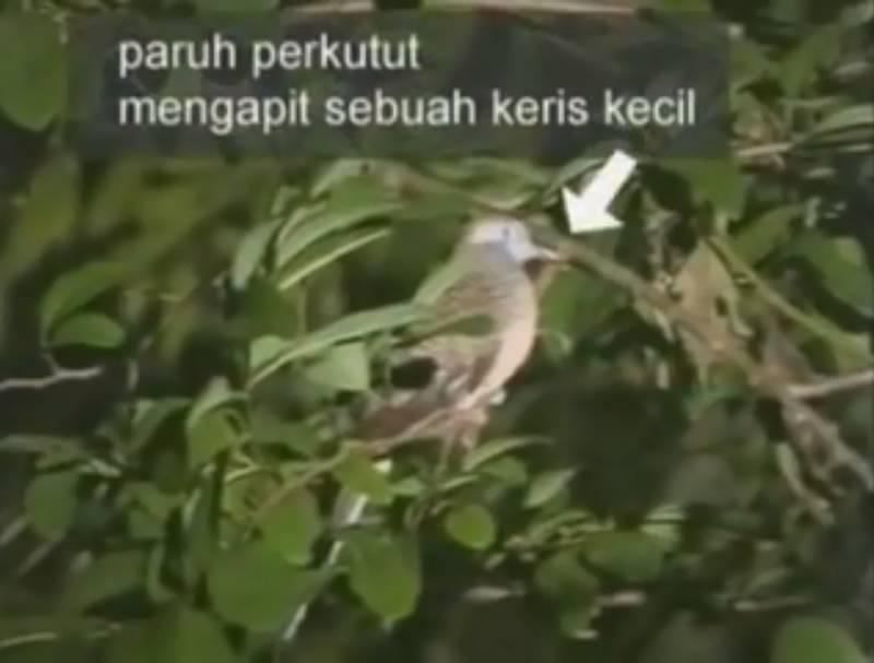 Perkutut Menggigit Pusaka Keris Kecil Emas (youtube.com)