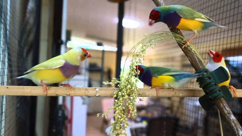 Analisa Usaha Ternak Burung Pipit Pelangi atau Gould Amadin (youtube.com)