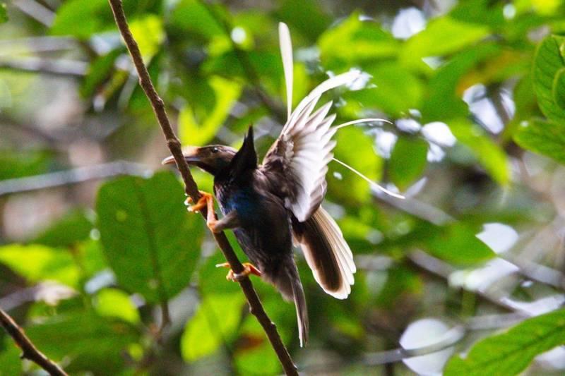 Bidadari Halmahera (Semioptera wallacii) (pinterest.com)