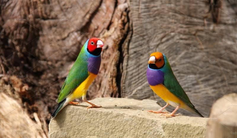 Bisnis Ternak Burung Gould Amadin atau Burung Pipit Pelangi (creativemarket.com)