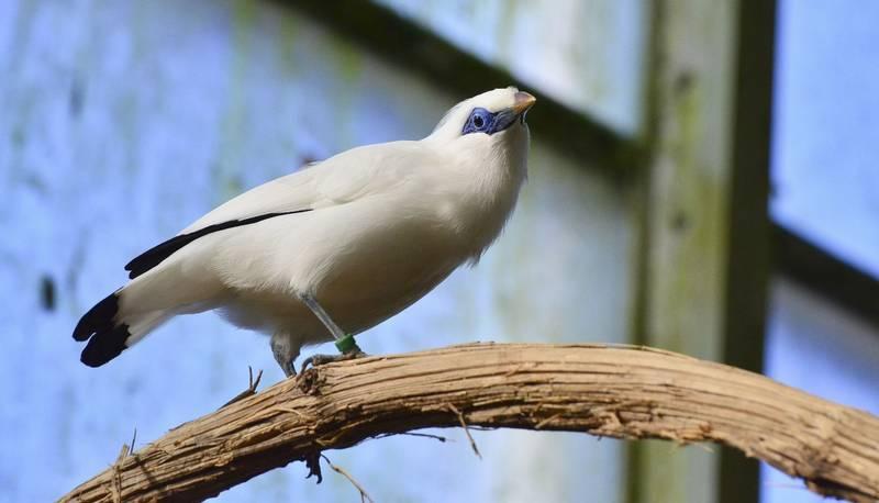 Burung Jalak Bali (pxhere.com)