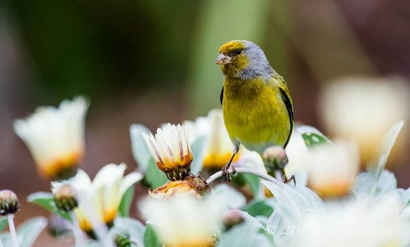 Burung Kenari makan daun-daunan (photodestination.co.za)