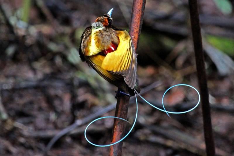 Cenderawasih Belah Rotan (Magnificent Bird of Paradise) (hbw.com)