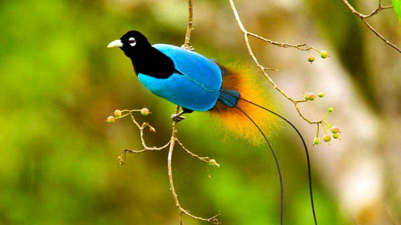 Cenderawasih Biru (Blue Bird of Paradise) (kcet.org)