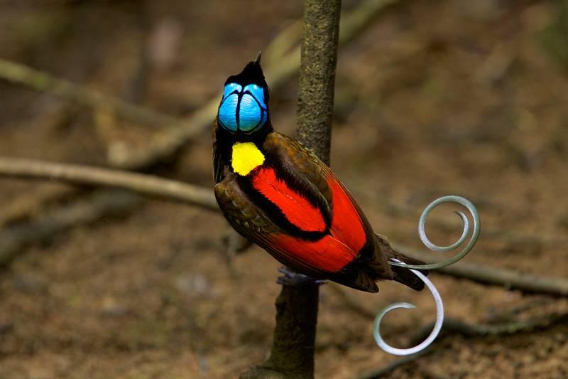 Cenderawasih Botak (Wilson's Bird of Paradise) (charismaticplanet.com)