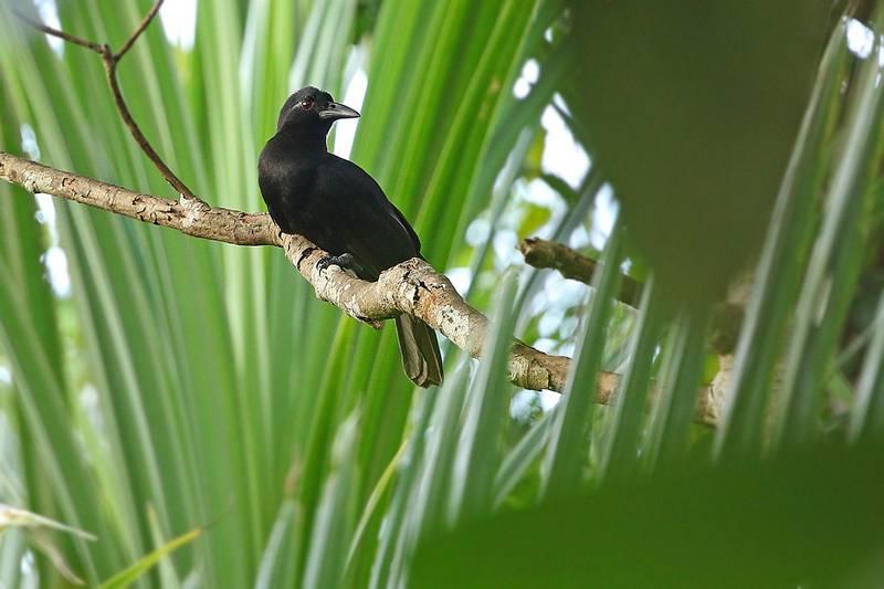 Cenderawasih Gagak (Paradise Crow) (hbw.com)