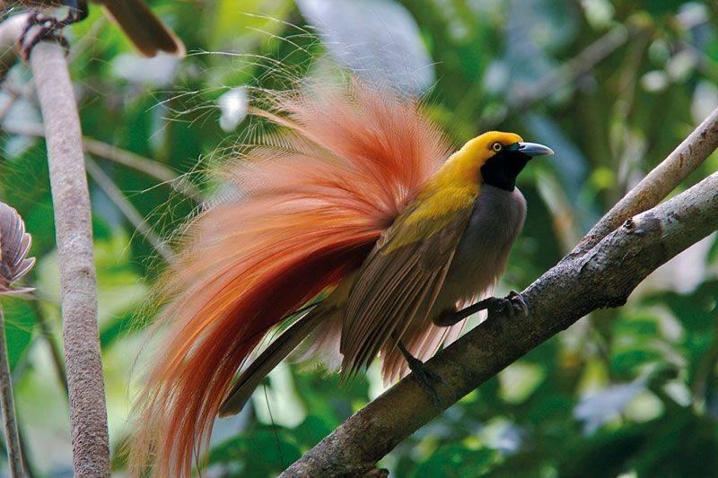 Cenderawasih Goldi (Goldie's Bird of Paradise) (pinterest.se)