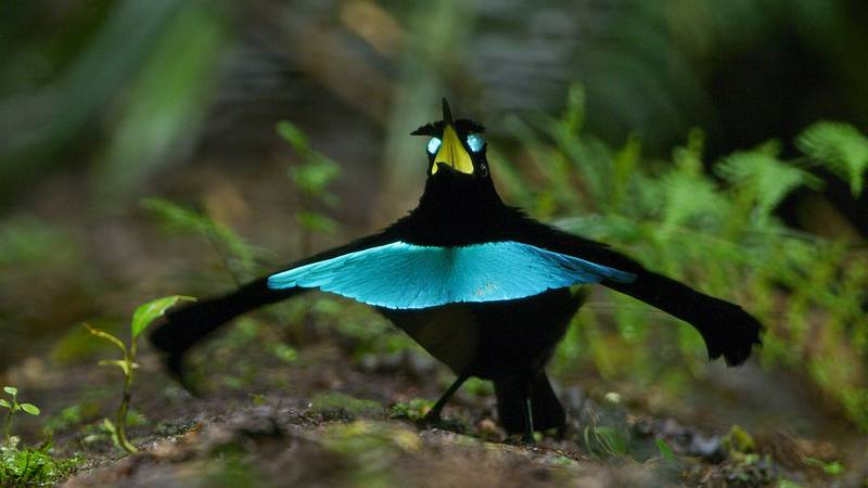 Cenderawasih Kerah (Superb Bird of Paradise) (allaboutbirds.org)