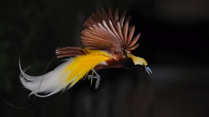 Cenderawasih Kuning Kecil (Lesser Bird of Paradise) (sandiegozoo.org)