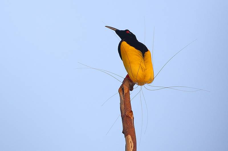 Cenderawasih Mati Kawat (Twelve-wired Bird of Paradise) (surfbirds.com)