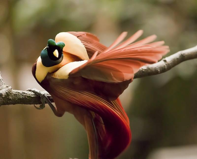 Cenderawasih Merah (Red Bird of Paradise) (raparapa.com)