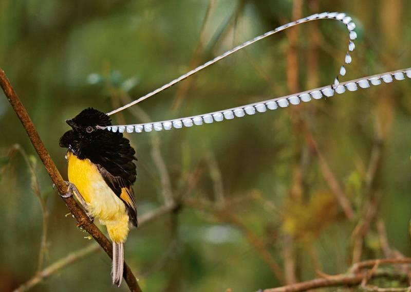 Cenderawasih Panji (King of Saxony Bird of Paradise) (charismaticplanet.com)