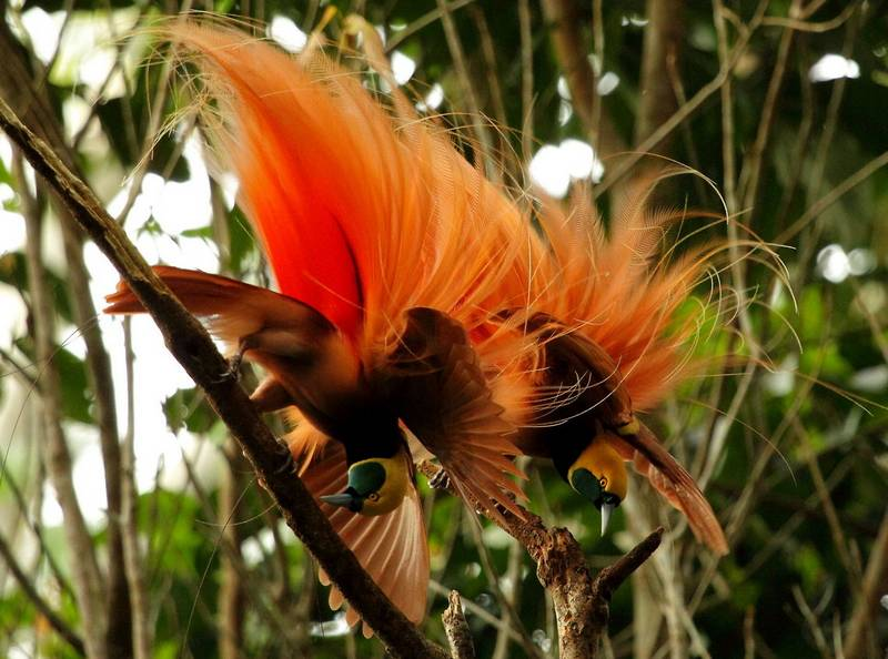 Cenderawasih Raggiana (Raggiana Bird of Paradise) (jungledragon.com)