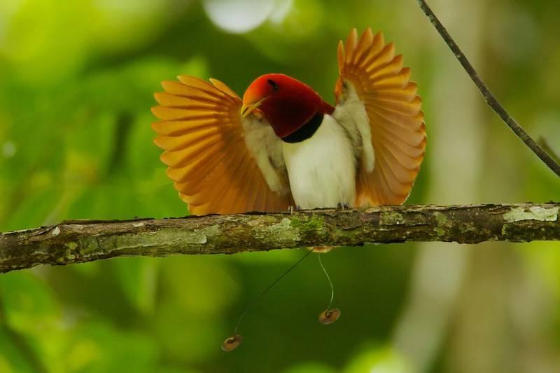 Cenderawasih Raja (King Bird of Paradise) (bbc.co.uk)