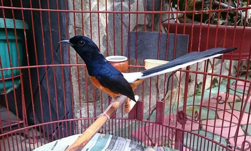 Ciri-ciri Murai Batu Medan Asli (frammas72.blogspot.com)