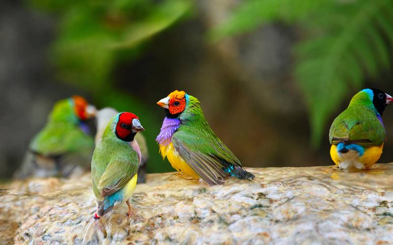 Ciri-ciri burung Pipit Pelangi atau Gould Amadin (sadiegozoo.org)