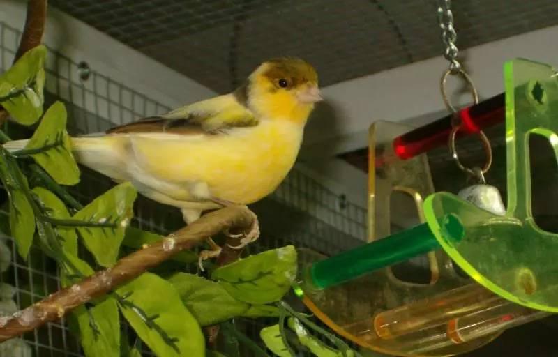 Gambar Burung Kenari di kandang (finchforum.com)