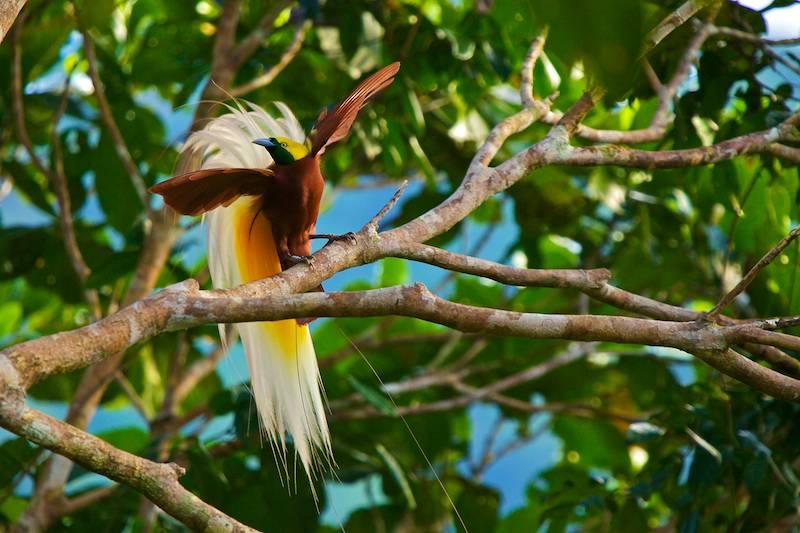 20 Jenis dan Gambar Burung Cenderawasih Tercantik di Indonesia