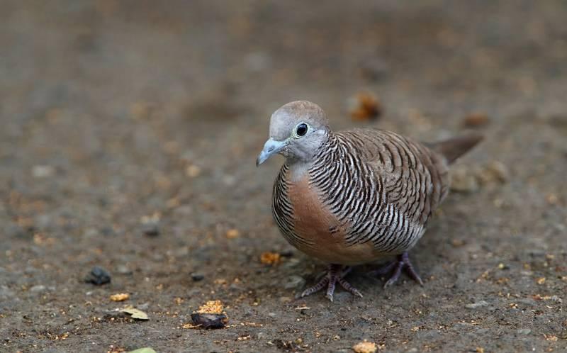 15 Makanan Burung Perkutut Agar Rajin Bunyi dan Cepat Gacor