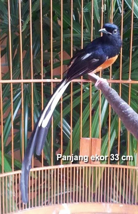 Murai Batu Medan ekor panjang 33 cm (gadieng.blogspot.com)