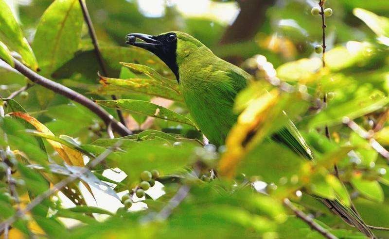 Ramuan Jamu Tradisional untuk Cucak Ijo (singaporebirds.blogspot.com)