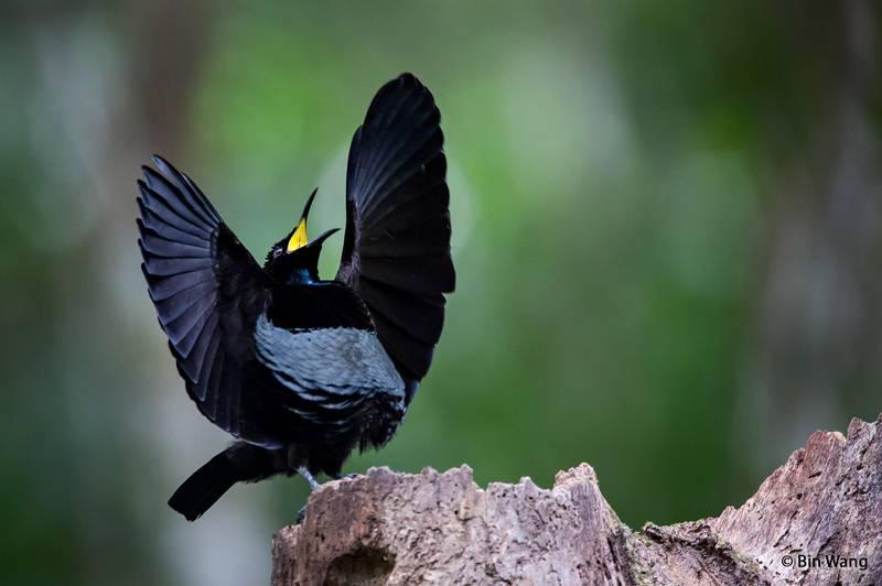 Toowa viktoria (Victoria's Riflebird) (hbw.com)
