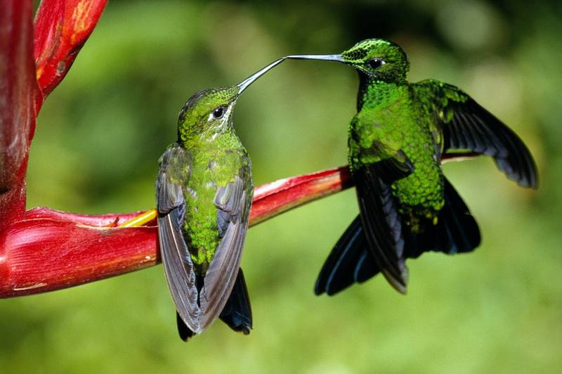 Burung Kolibri dan burung Madu berbeda (wallpaperstock.net)